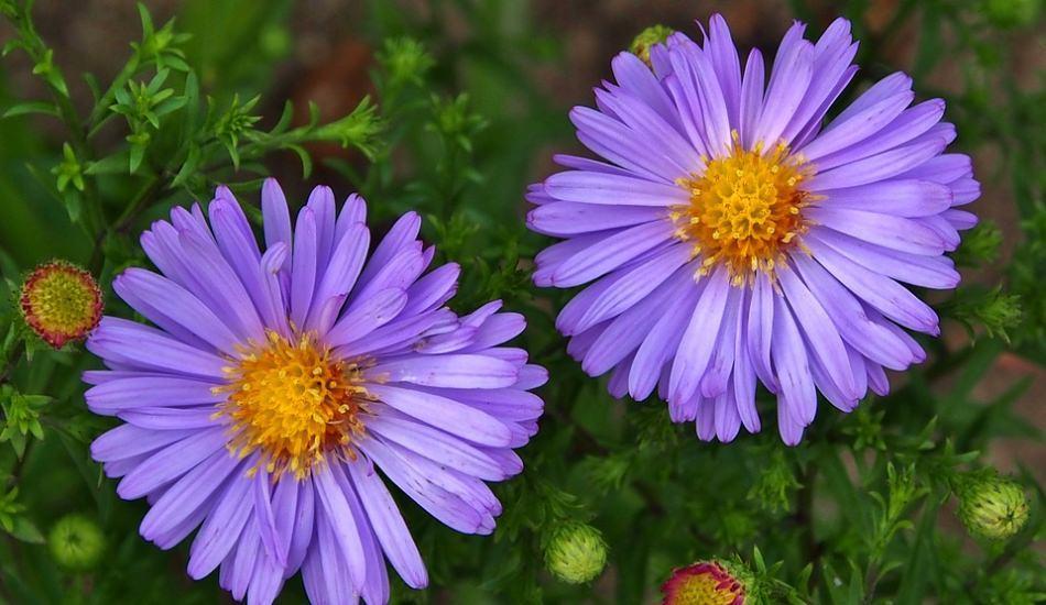 Evde Aster çiçeği nasıl bakılır?
