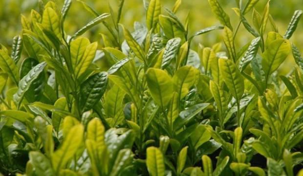 ÇAYKUR'dan son 20 yılın en yüksek yaş çay alımı