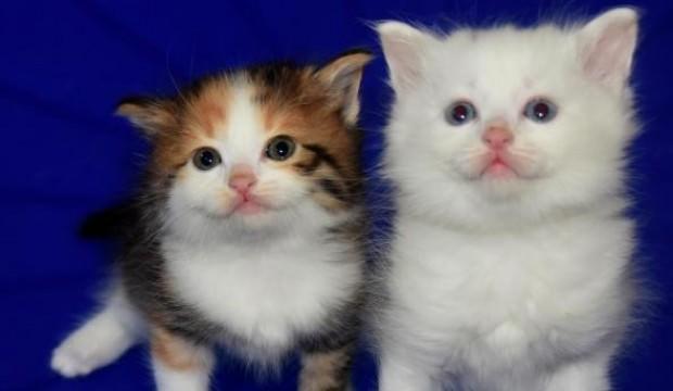 Kahverengi Van kedisi yavrusu, şaşırtıyor