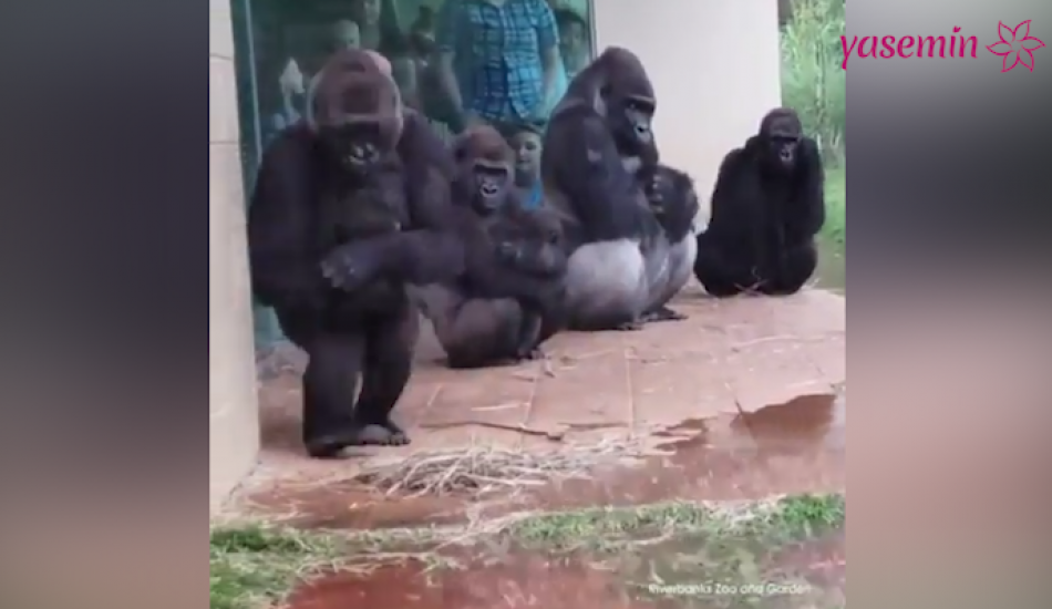 Yağmurdan kaçan Goriller sosyal medyayı salladı!