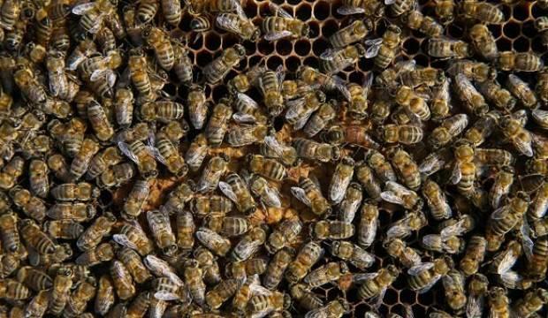 Bazı arı ve balık türleri tescil edildi