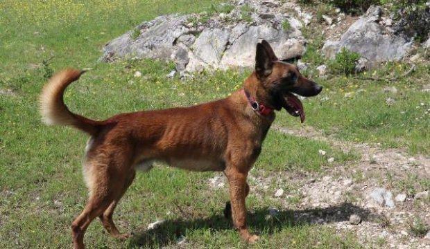 Eylül'ü bulan kadavra köpeği 'Abrek', Ecrin'i de arıyor