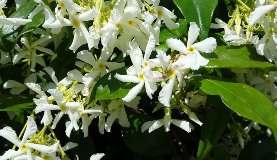 Yasemin çayının faydaları nelerdir? Doğada bulunan etkili adet söktürücü...