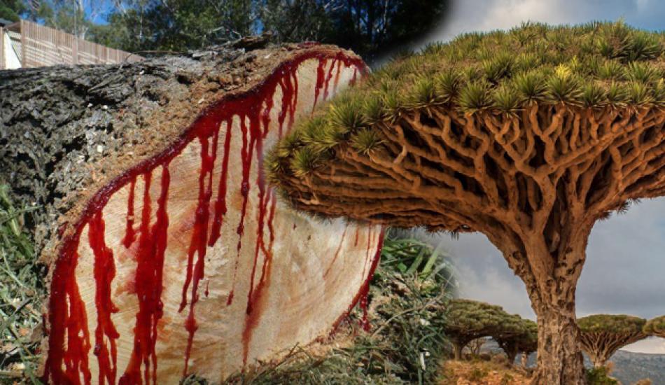 Ejder kanı ağacının faydaları nelerdir? Ejder kanı ağacı hangi hastalıklara iyi gelir?