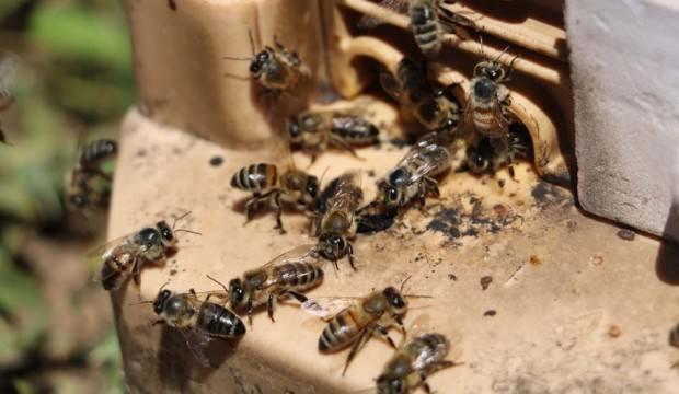 Manisa'da feci olay: Arıların saldırısına uğrayan kadın öldü