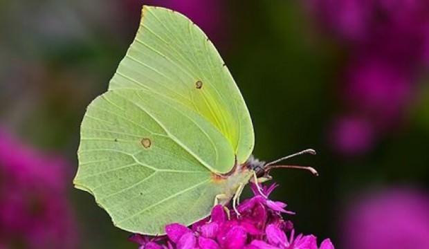 Burdur'da yeni bir kelebek türü bulundu