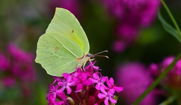 Burdur'un kelebek türlerine bir yenisi daha eklendi