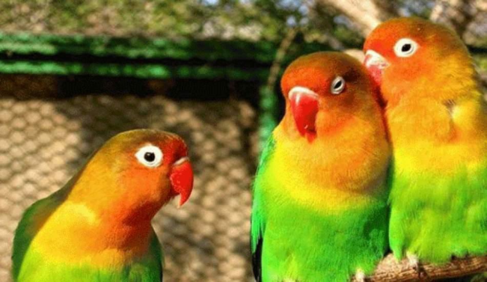 Cennet papağanına nasıl bakılır? Cennet papağının özellikleri...