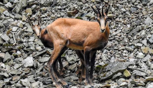 Çengel boynuzlu dağ keçileri Gümüşhane'yi mesken tuttu
