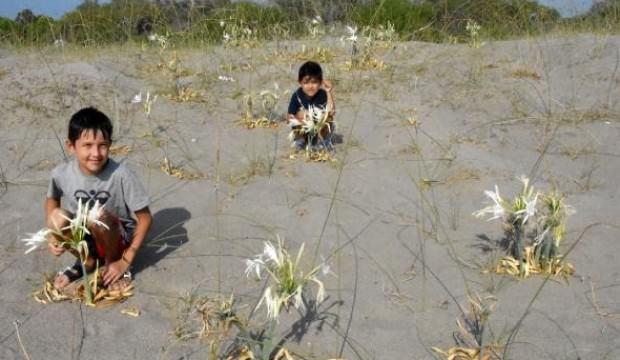 Demre'de kum zambakları çiçek açtı