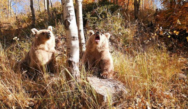 Nemrut Krater Gölü'nün ziyaretçilerini kardeş boz ayılar karşılıyor