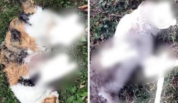 Kopuk bacaklı kedi ölümlerinin nedeni belli oldu