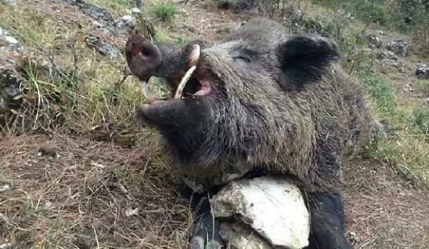 Tam 5 saat sürdü! 200 kiloluk domuz vuruldu