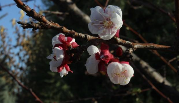 Yalancı baharın yalan çiçeği!