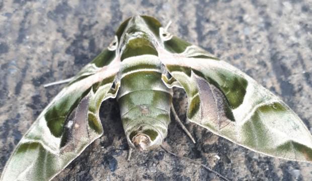 Dünyanın en hızlı kanat çırpan kelebeği Hatay'da görüntülendi