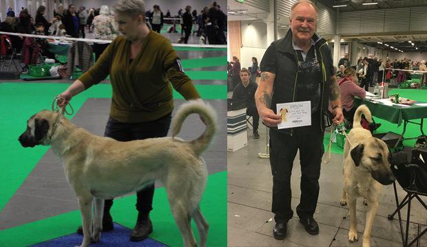 Sivas Kangalı, İsveç'teki köpek fuarına damgasını vurdu