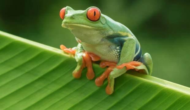 İlk kez kurbağaların kök hücrelerinden robotlar üretildi