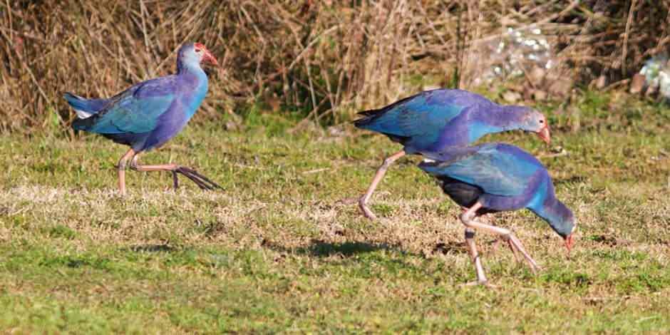 Kuş Cenneti'nin ender görülen misafirleri
