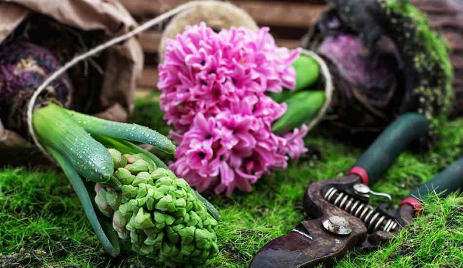 Saksıya çiçek nasıl dikilir? Çiçek nasıl budanır?