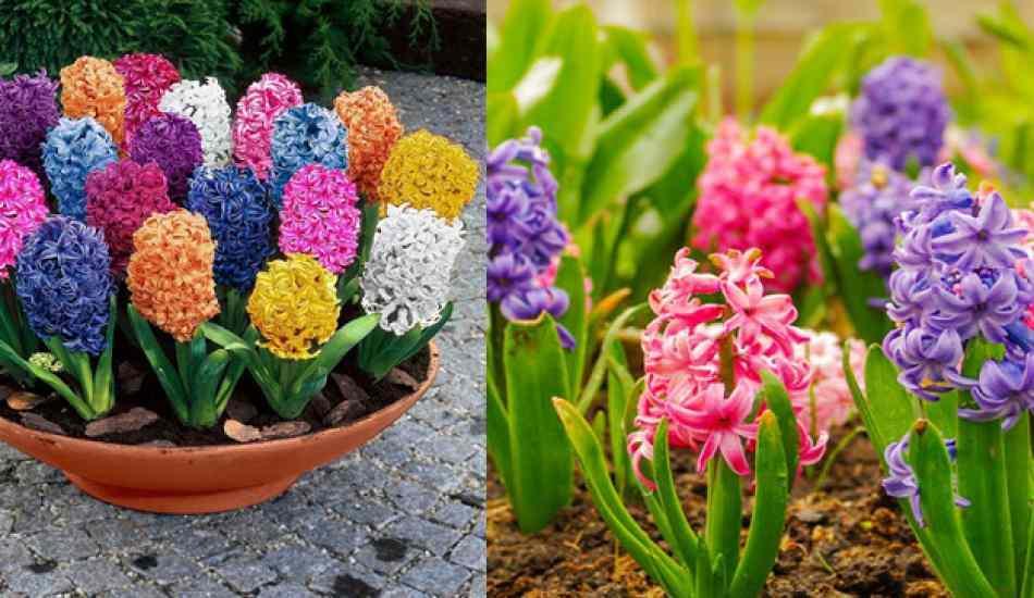 Sümbül çiçeği nasıl yetiştirilir? Sümbül çiçeği nasıl çoğaltılır?