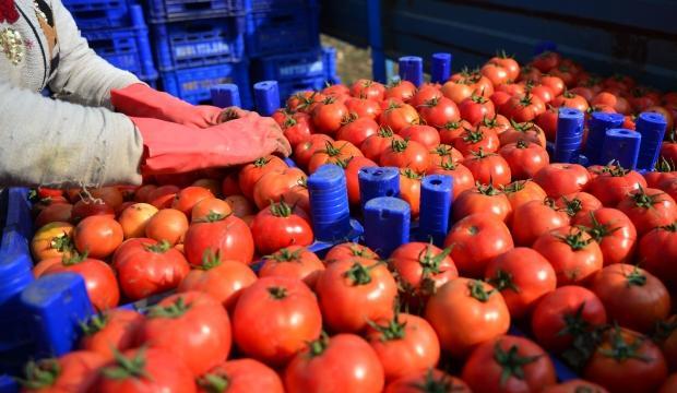 Koronavirüs domatesin kilosunu 1 liraya düşürdü