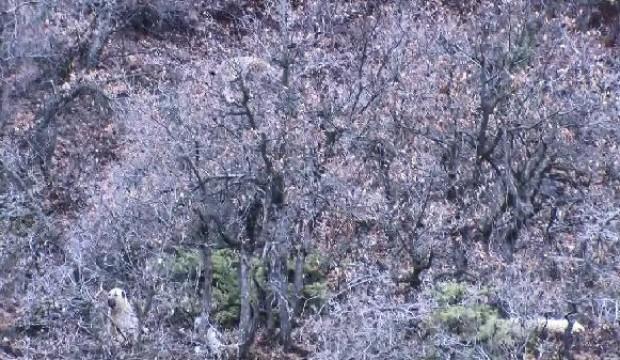 Köpekler saldırınca çıktığı ağaçta mahsur kalan vaşak kurtarıldı