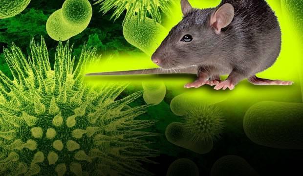 Çin'de şimdi de hantavirüs alarmı! Koronavirüs ile semptomları aynı, tedavisi de yok