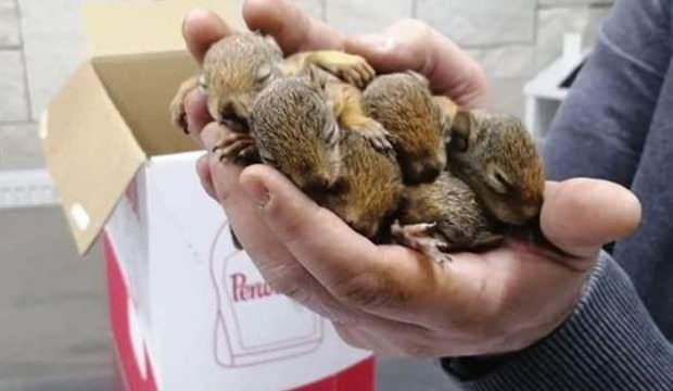 Sincap yavrularına orman işçileri sahip çıktı