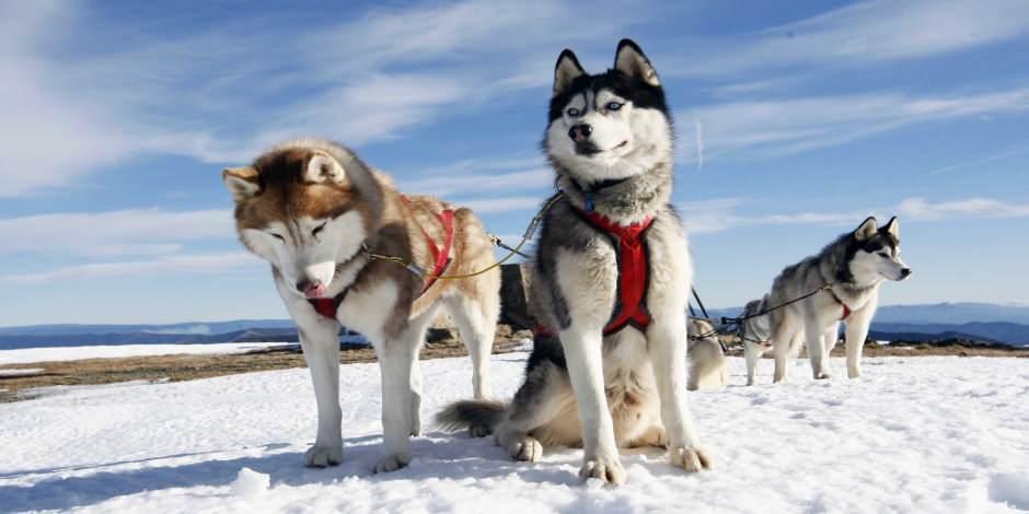 Finlandiya'da Haski köpekleri, geyikler ve kar motosikleti safari deneyimi