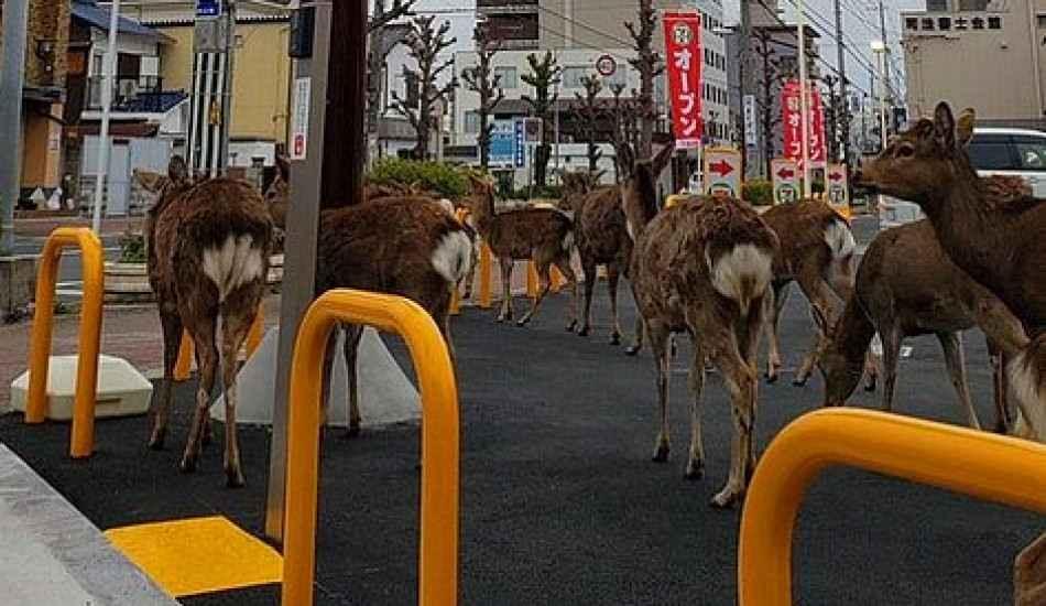 Karantina nedeniyle boş kalan şehirlere hayvanlar indi! İşte o şaşırtan görüntüler...