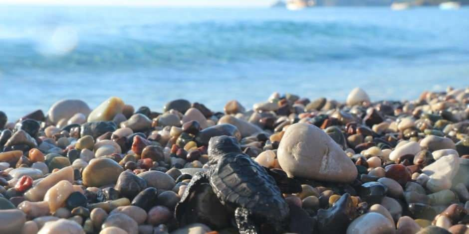 Caretta carettaların sahillerinde 'Koronavirüs' sessizliği