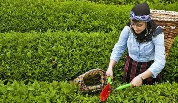 Çay hasadına vekâlet formülü