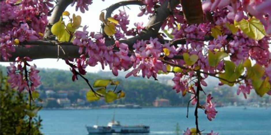 Erguvan ağaçları İstanbul boğazını süsledi