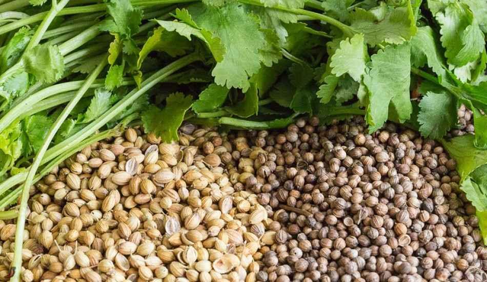 Kişniş tohumunun faydaları nelerdir? Ağız içi yaraları için kişniş yağı! Kişnişin kullanımı...