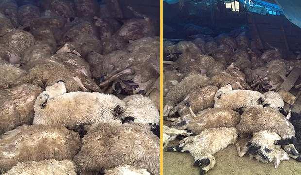 Elazığ'da kurt sürüsü çiftliğe saldırdı, 120 koyun telef oldu