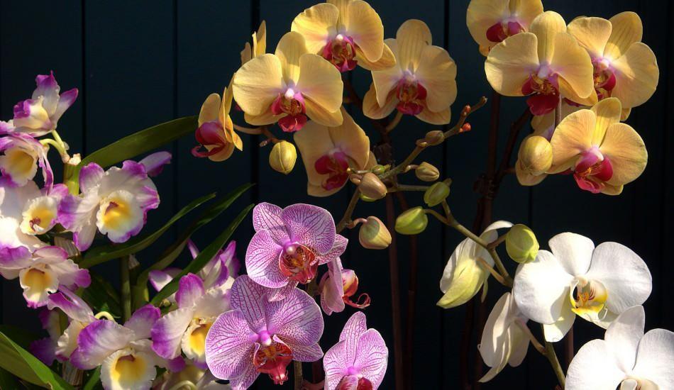 En kolay orkide bakımı nasıl yapılır? Evde orkide nasıl sulanır? Orkideleri canlandıran yöntem