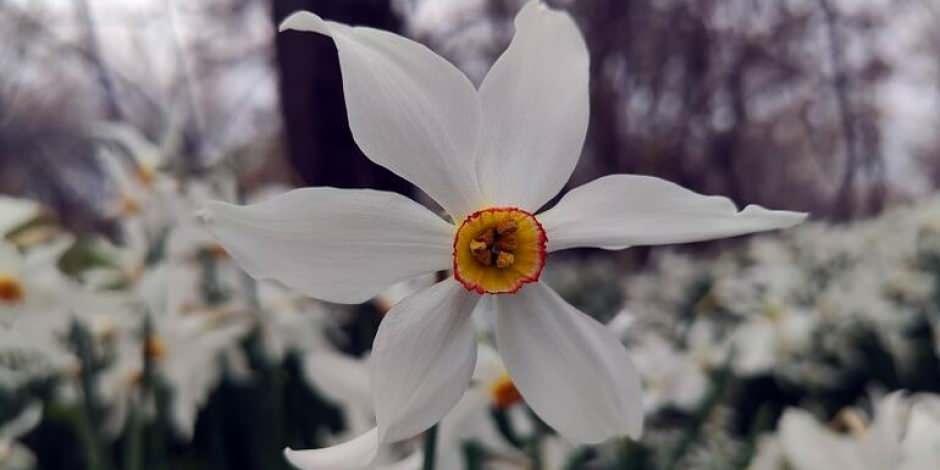 Zerrinkadeh çiçekleri bu yıl hüzünlü açtı