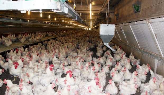 Koronavirüs, tavuk ve yumurta sektörünü de vurdu