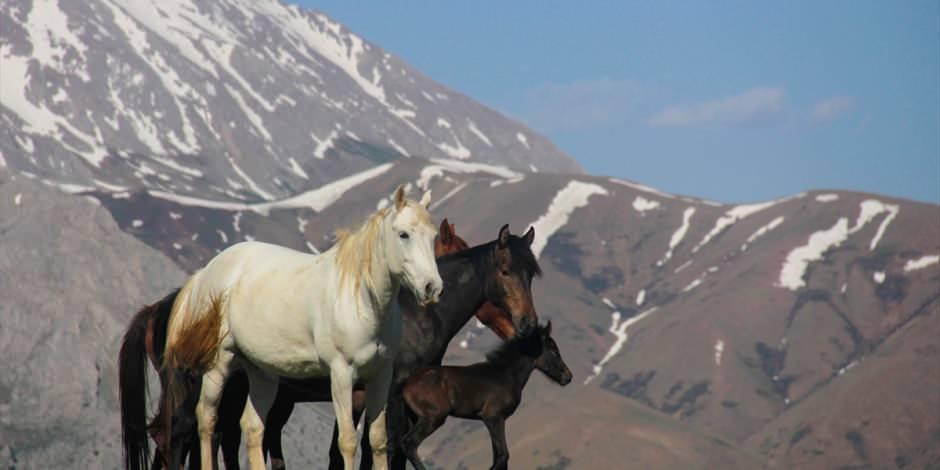 Mercan Dağları yavru yılkı atlarıyla daha güzel