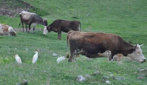 Sığır balıkçılı ilk kez Kars'ta görüntülendi