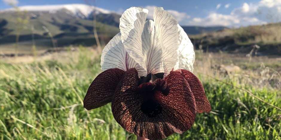 Ağrı Dağı'nın eteklerinde ender görülen bir çiçek