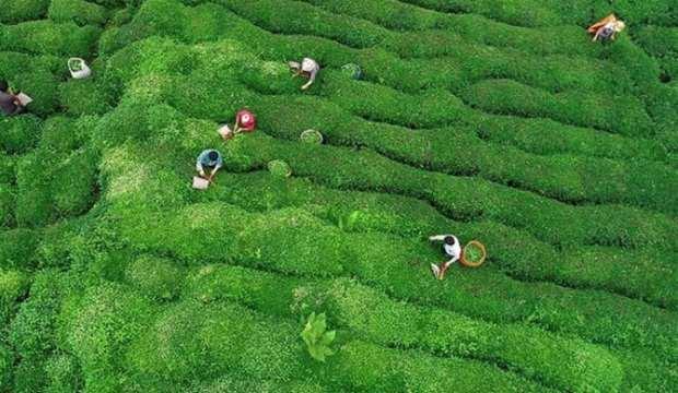 ÇAYKUR'dan yaş çay alımı açıklaması