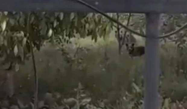 Evin bahçesine giren ayılar böyle görüntülendi