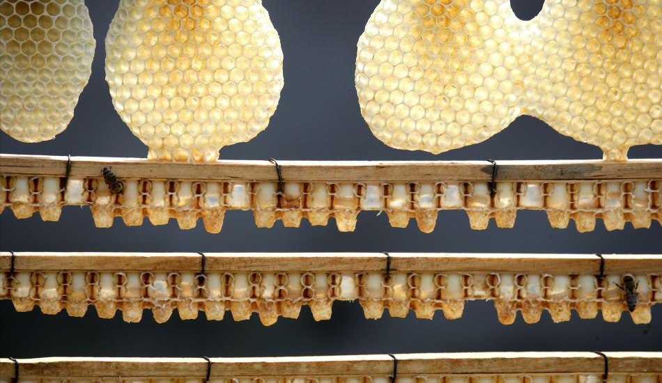 Arı sütünün faydaları nelerdir? Arı sütü kullanımı! İşte bağışıklığı güçlendiren mucize...