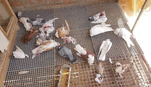 Kümese giren sansar, 21 taklacı güvercini parçaladı