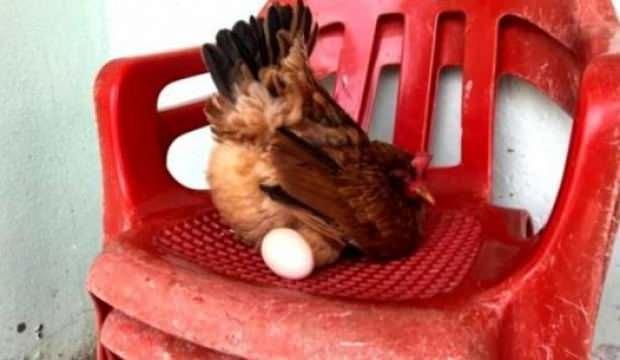 Sosyete Tavuk sandalyeden başka yerde yumurtlamıyor