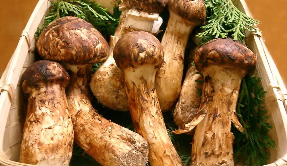 Tam bir protein deposu: Matsutake mantarı nedir? Matsutake mantarının faydaları nelerdir?