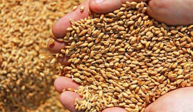 Ekmeklik buğday makarnanın kalitesini düşürüyor