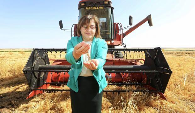Büyükşehir'in dağıttığı mercimek tohumlarının hasadına başlandı