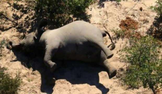 Güney Afrika ülkesi Bostwana'da şüpheli fil ölümleri